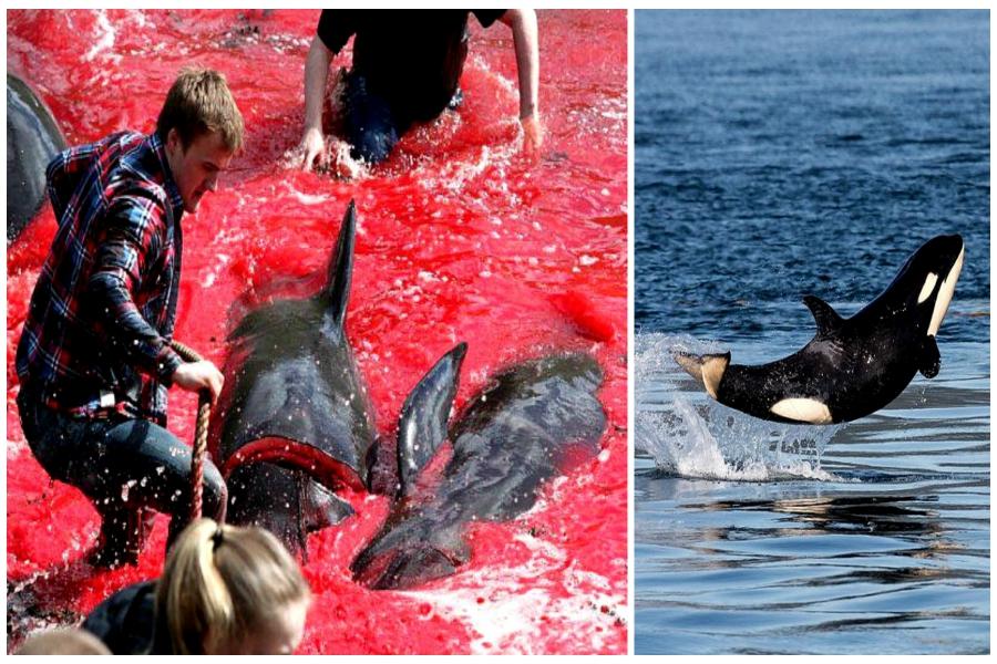massacre dauphins
