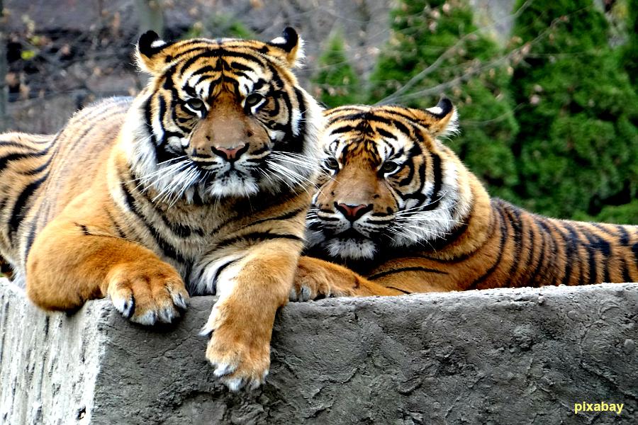 Braconnage en Indonésie : tigre empoisonné