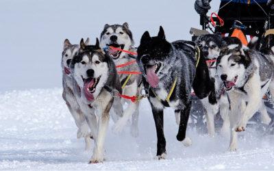 Laponie : sauver les huskies