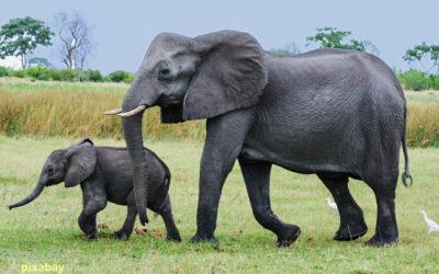 Kenya : curieuse menace sur les éléphants